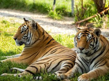 india-tiger-safari-featured-2